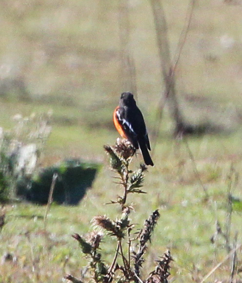Image of Flame Robin