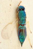 Image of <i>Mesopolobus pseudolaticornis</i> Rosen 1966