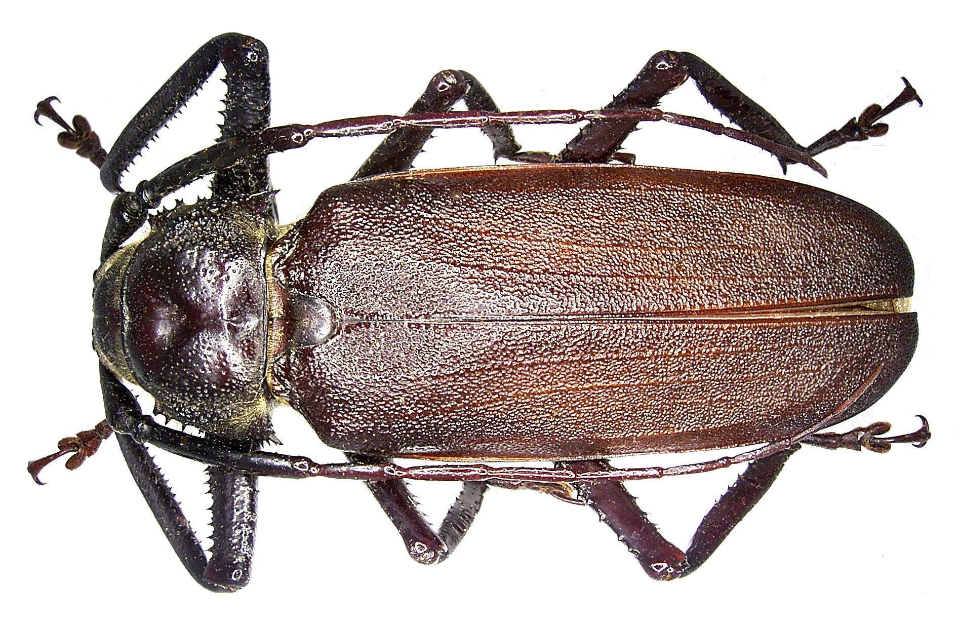 Image of <i>Macrotoma natala</i> Thomson 1861