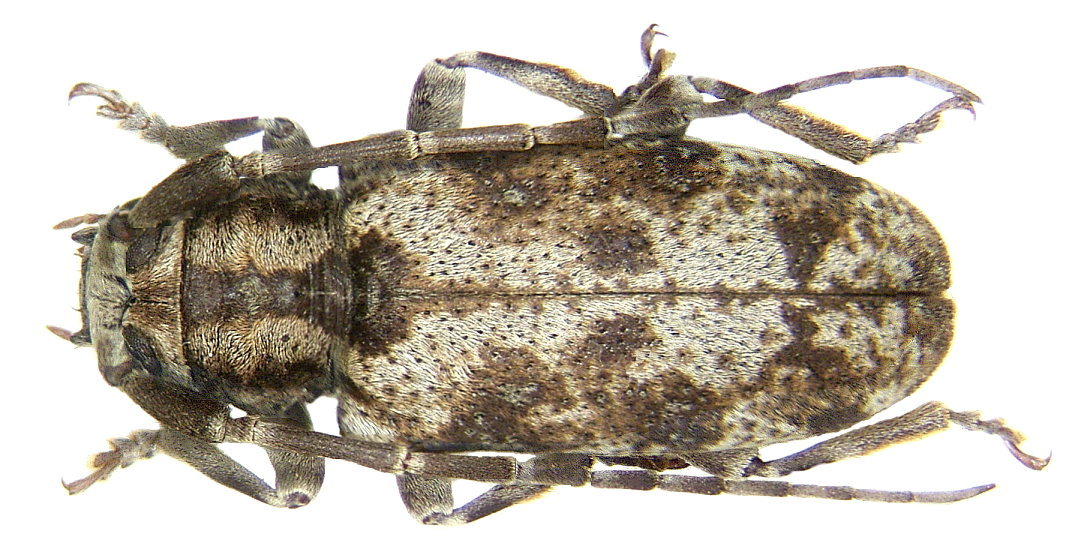 Image of <i>Ontochariesthes namibianus</i> Adlbauer 1996