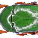 Image of <i>Trigonophorus nepalensis</i> (Hope 1831)