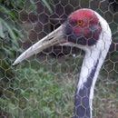 Image of White-naped crane