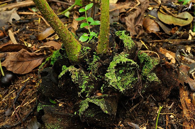 Image of <i>Marattia pellucida</i> C. Presl