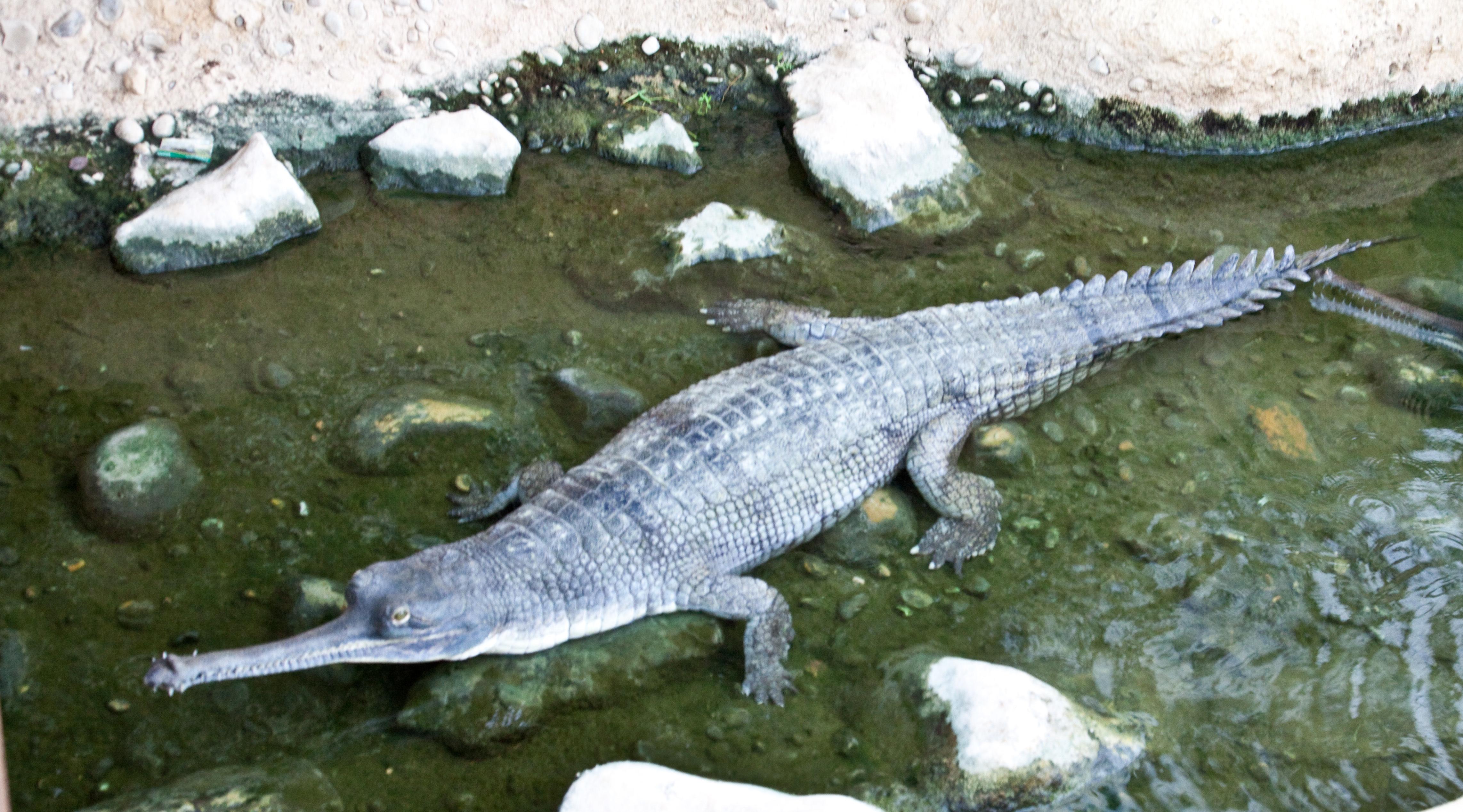 Image of Gharial