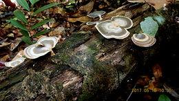 Image of <i>Flabellophora obovata</i>