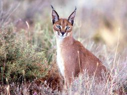 Image of African Caracal
