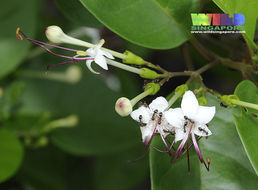 Image of <i>Clerodendrum inerme</i>