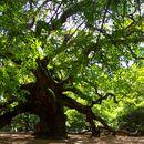 Image of Southern Live Oak
