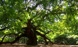 Image of Southern Live Oak
