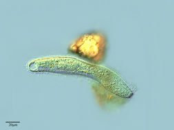 Image of <i>Trachelophyllum sigmoides</i> Kahl 1926