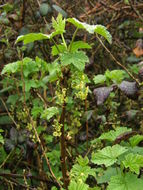 Image of Red Currant