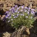 Image of <i>Viola palmensis</i> Webb & Berth.