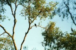 Image of Crested Drongo