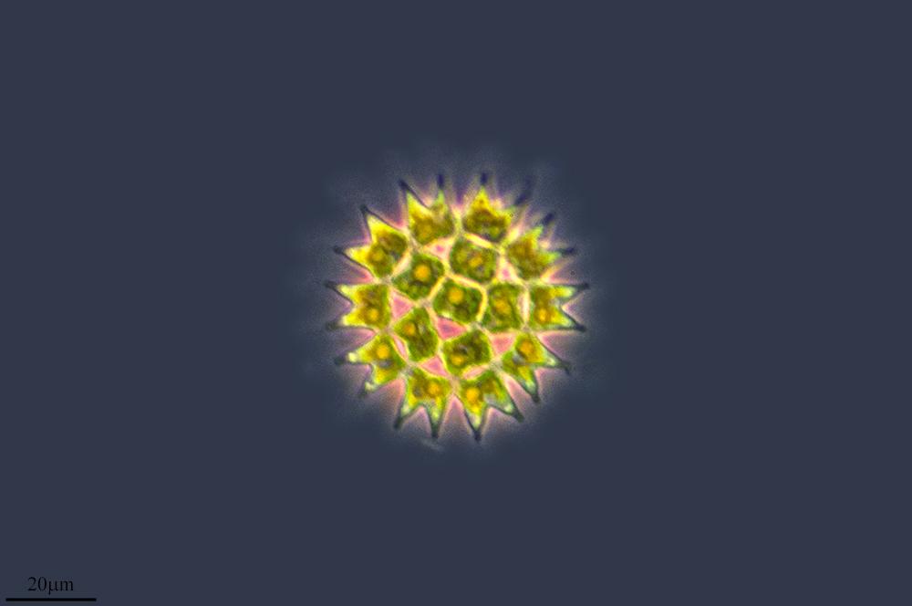 Image of <i>Pediastrum duplex</i>