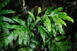 Image of <i>Tectaria decurrens</i> (Presl) Copel.