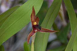 Image of <i>Maxillaria praestans</i>