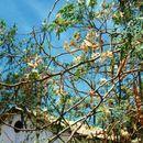 Image of tamarind