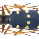 Image of <i><i>Thopeutica</i></i> (Thopeutica) <i>sawadai</i> Cassola 1991