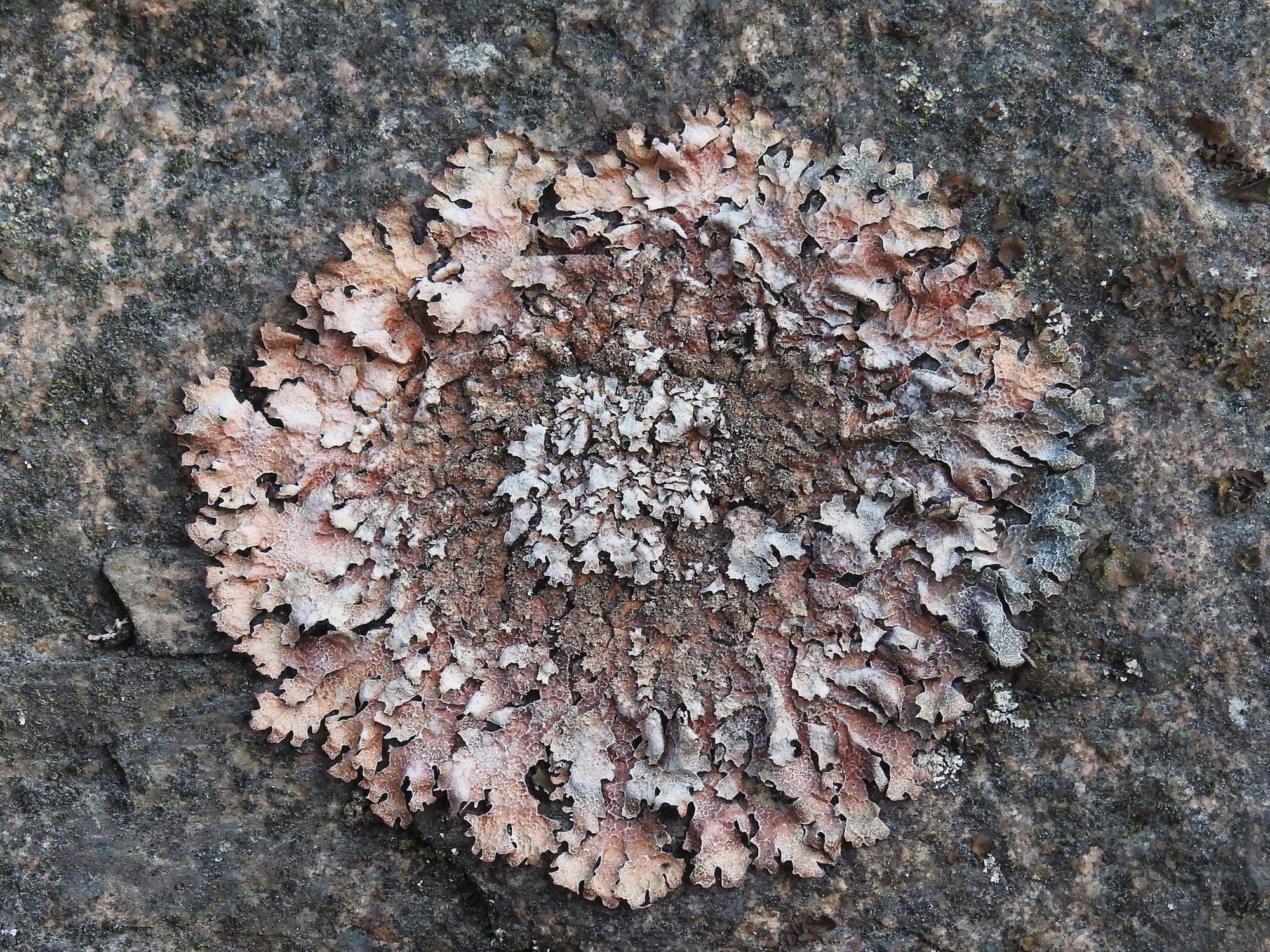 Image of shield lichen