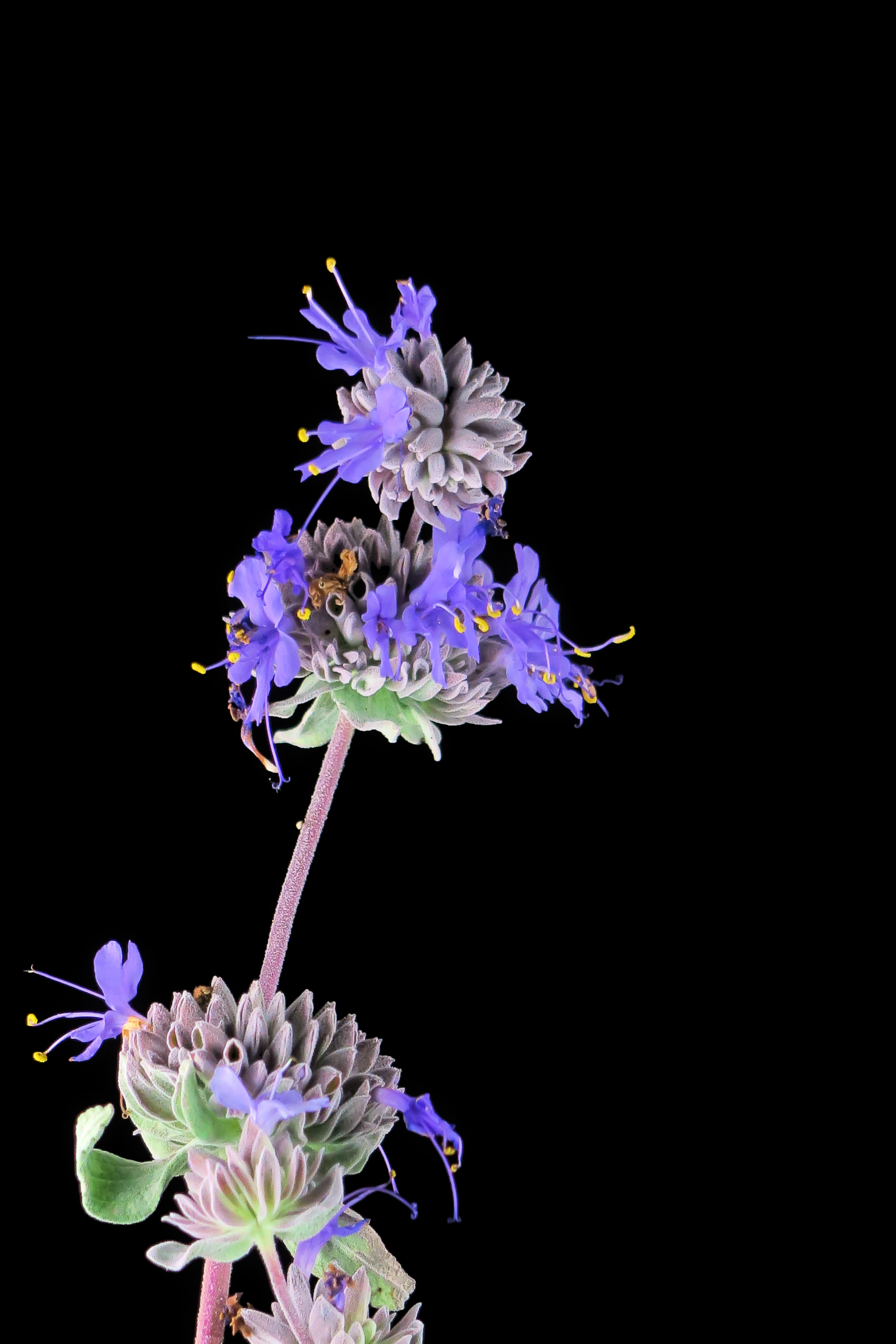 Image of <i>Salvia chionopeplica</i> Epling