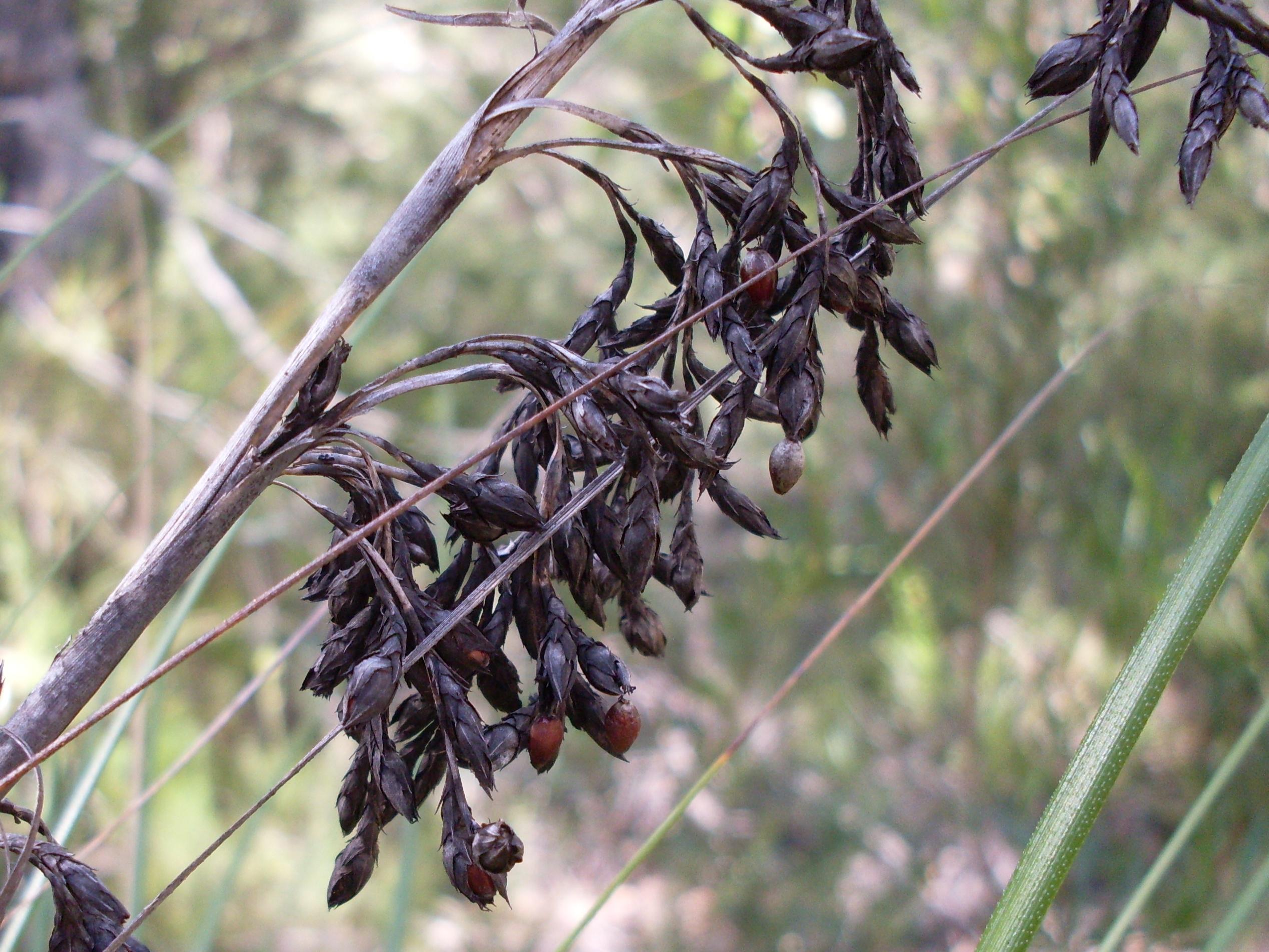 Image of <i>Gahnia erythrocarpa</i> R. Br.