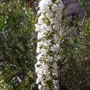 Image of <i>Woollsia pungens</i> (Cav.) F. Muell.