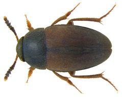 Image of <i>Sciodrepoides watsoni</i> (Spence 1813)