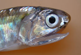 Image of Atlantic sabretooth anchovy