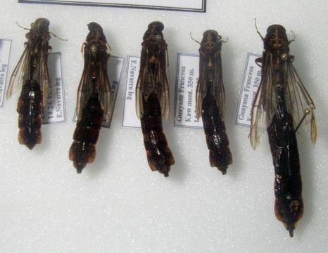 Image of <i>Atractocerus brasiliensis</i> Lepeletier & Audinet-Serville 1825