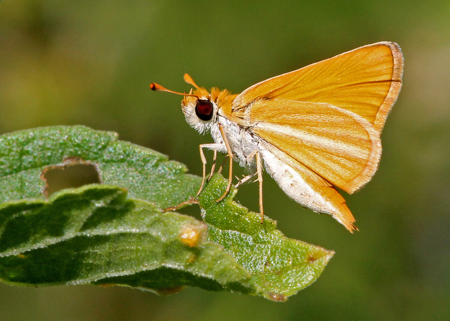 Image of <i>Copaeodes minimus</i>