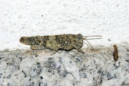 Image of <i><i>Sphingonotus</i></i> (Sphingonotus) <i>caerulans</i> (Linnaeus 1767)