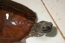 Image of Four-eyed Turtle