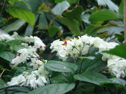 Image of <i>Clerodendrum thomsoniae</i> Balf. fil.