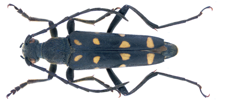 Image of <i>Leptura duodecimguttata</i> Fabricius 1801