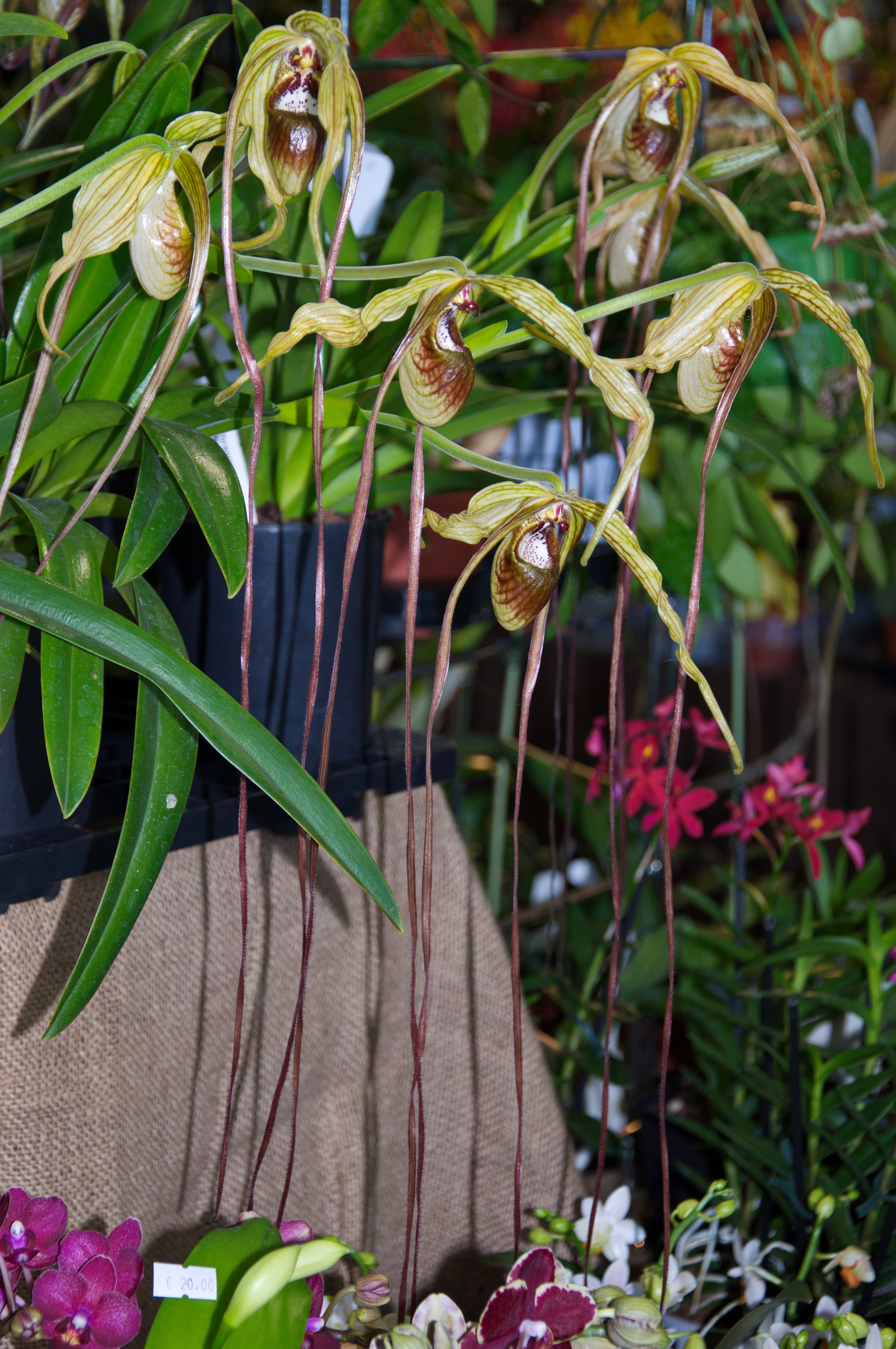 Image of <i>Phragmipedium popowii</i>