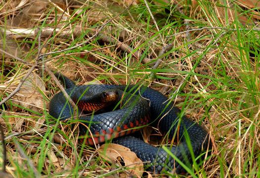 Image of red-bellied black snake