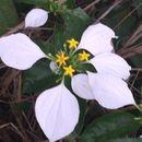 Image of <i>Mussaenda pubescens</i> Dryand.
