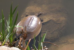 Image of Spiny Softshell Turtle