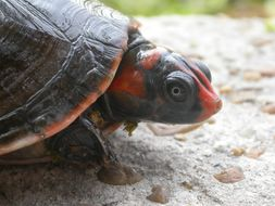 Image of Red-headed Amazon River Turtle