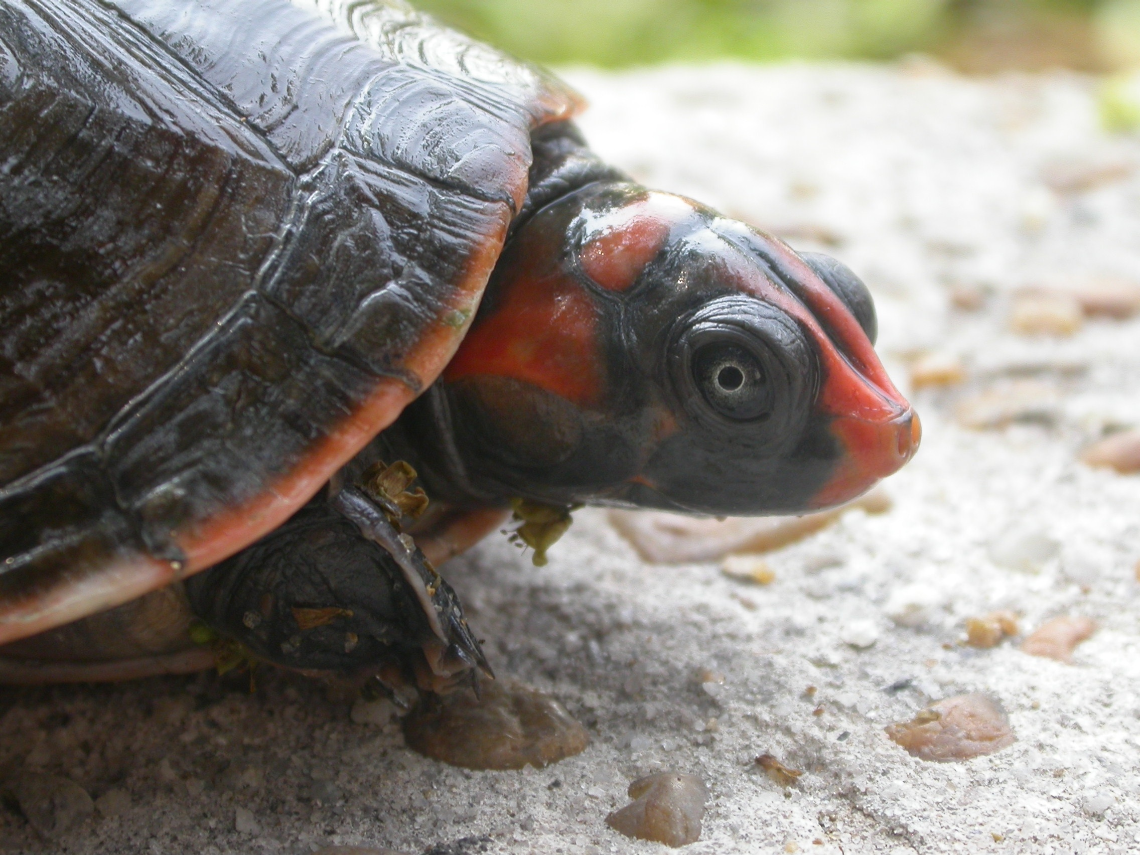 Red Headed Amazon River Turtle Encyclopedia Of Life
