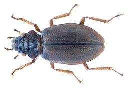 Image of <i><i>Ochthebius</i></i> (Ochthebius) <i>afghanicus</i> Jäch 1991