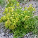 Image of <i>Astydamia latifolia</i> (L. fil.) O. Ktze.
