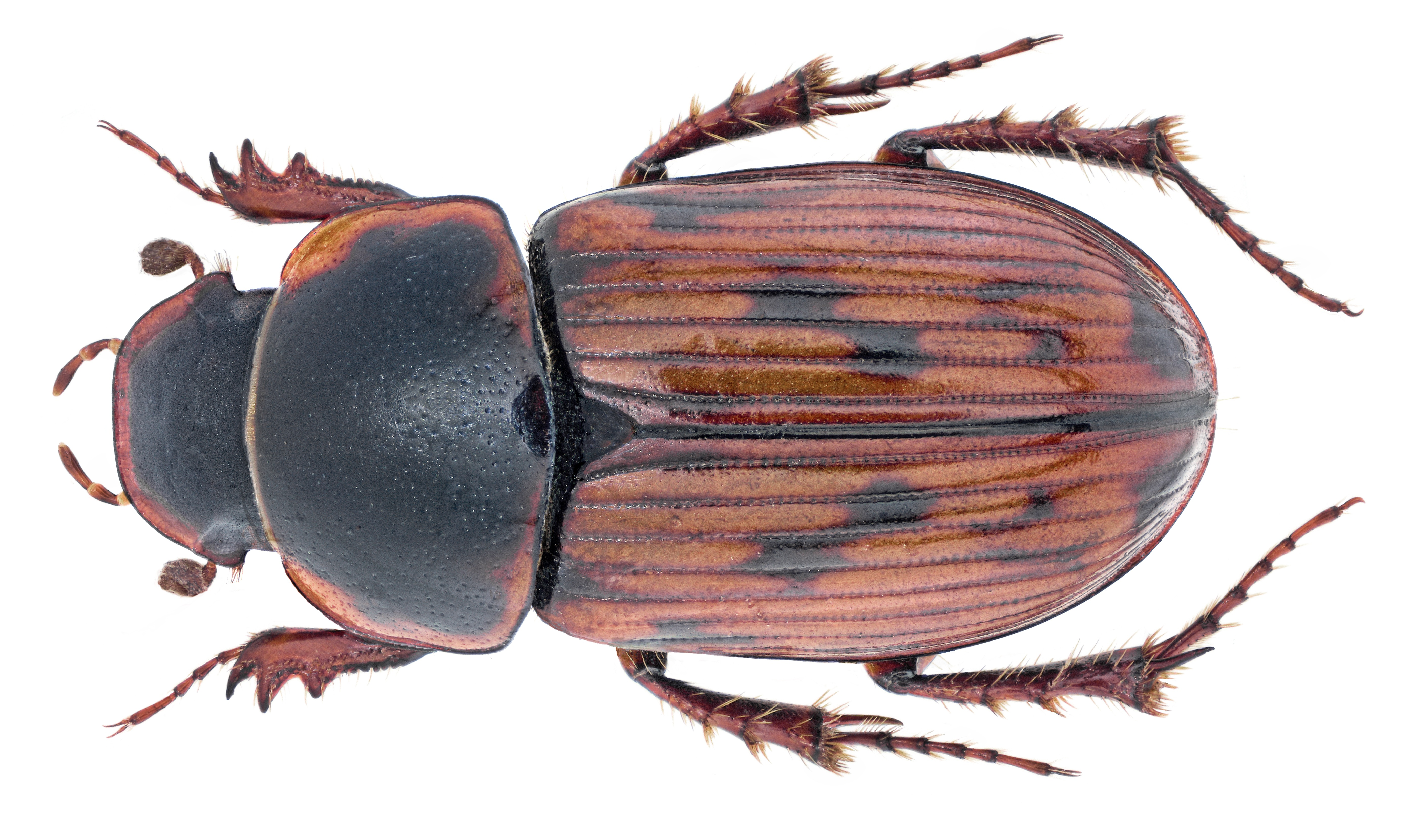 Image of <i>Agolius bonvouloiri</i> (Harold 1860)