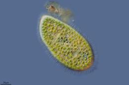 Image of green slipper animalcule