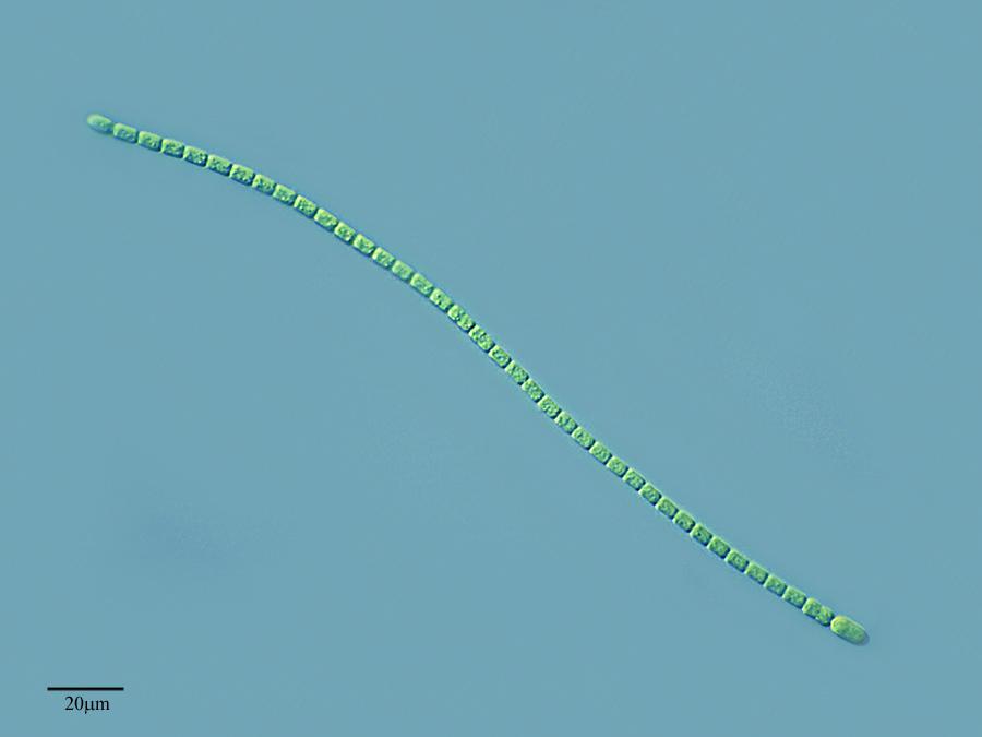 Image of <i>Nodularia sphaerocarpa</i>