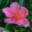 Image of Downy rose myrtle