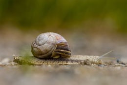 Image of Burgundy snail