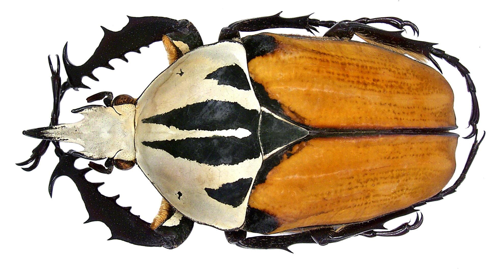 Image of <i>Mecynorhinella oberthuri kirchneri</i>