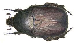 Image of <i>Protaetia</i> (<i>Netocia</i>) <i>oblonga</i> (Gory & Percheron 1833)
