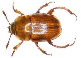 Image of <i>Leiodes oblonga</i>